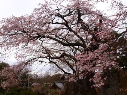 高森観音堂の枝垂れ桜と信濃境の桜達140420_8