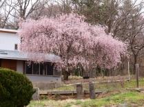 高森観音堂の枝垂れ桜と信濃境の桜達140420_4
