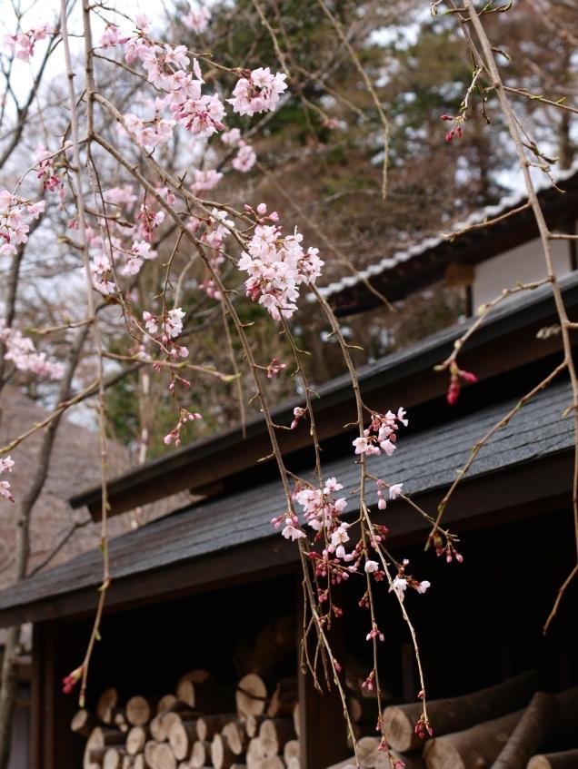 高森観音堂の枝垂れ桜と信濃境の桜達140420_1