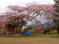高森観音堂の枝垂れ桜と信濃境の桜達140420_9