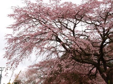 高森観音堂の枝垂れ桜と信濃境の桜達140420_10