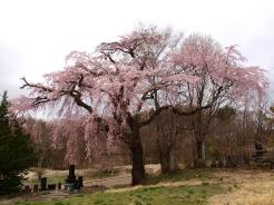 高森観音堂の枝垂れ桜と信濃境の桜達140420_2