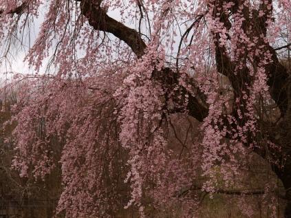 高森観音堂の枝垂れ桜と信濃境の桜達140420_6