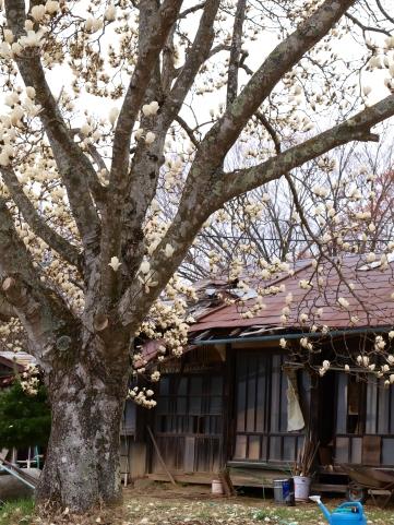 高森観音堂の枝垂れ桜と信濃境の桜達140420_3