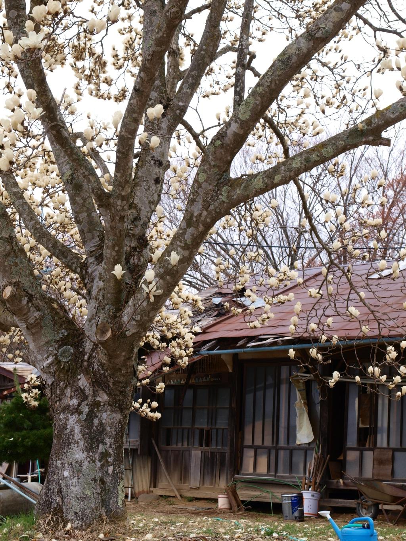 コブシの花と廃屋