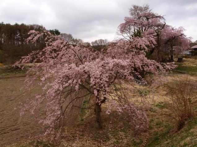 高森観音堂の枝垂れ桜と信濃境の桜達140420_7