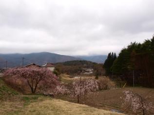 高森観音堂の枝垂れ桜と信濃境の桜達140420_11