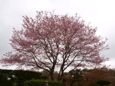 高森観音堂の枝垂れ桜と信濃境の桜達140420_12
