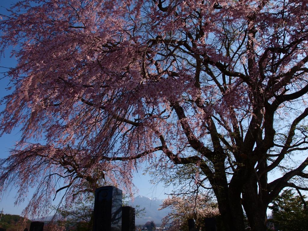 田端の枝垂れ桜140423_2