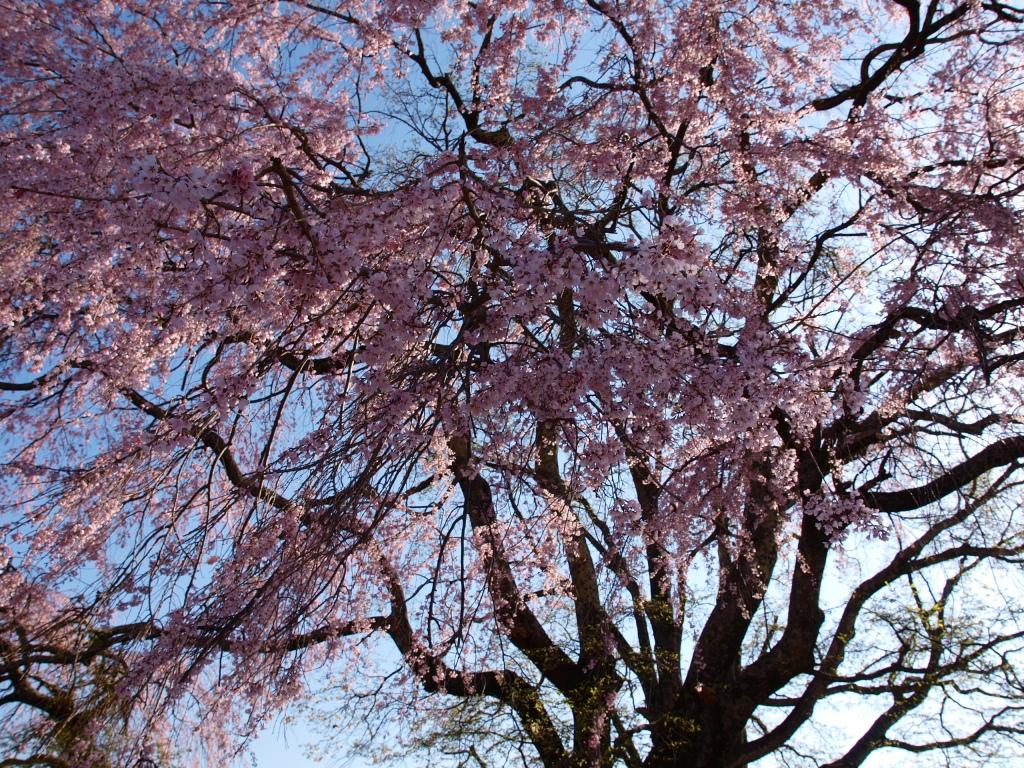田端の枝垂れ桜140423_1