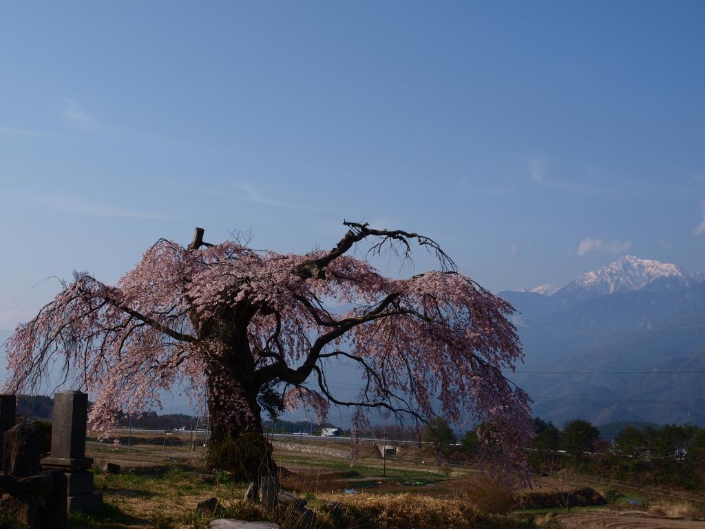 葛窪の枝垂れ桜140425_7