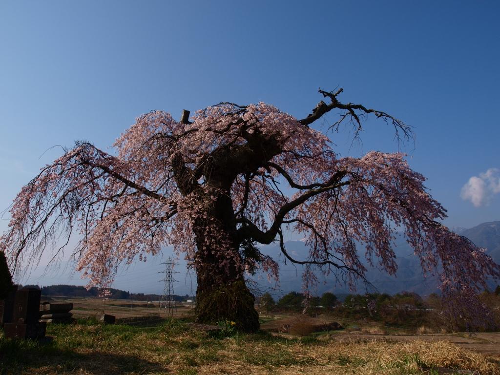 葛窪の枝垂れ桜140425_5