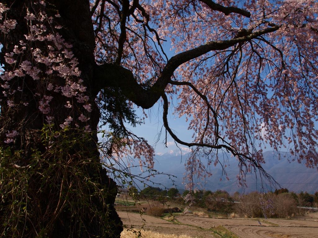 葛窪の枝垂れ桜140425_10