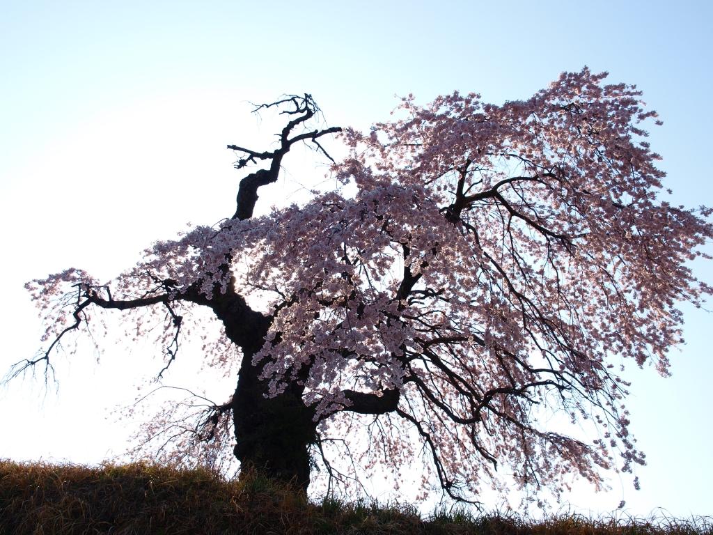 葛窪の枝垂れ桜140425_2