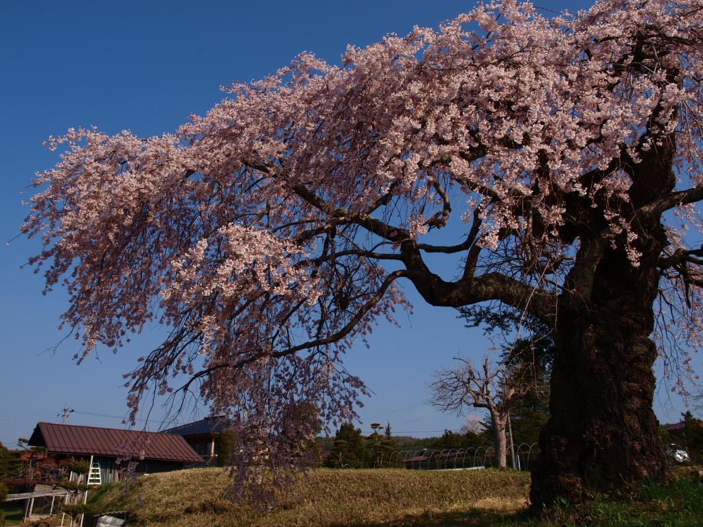 葛窪の枝垂れ桜140425_8