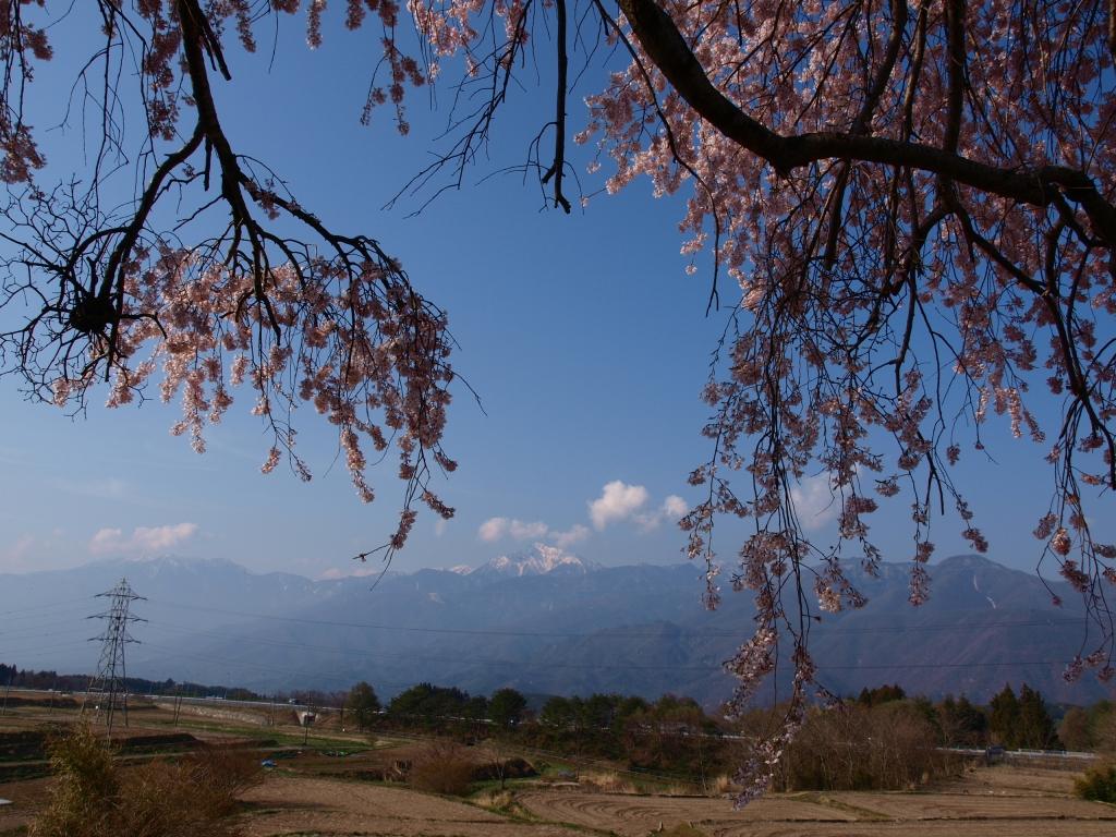 葛窪の枝垂れ桜140425_1