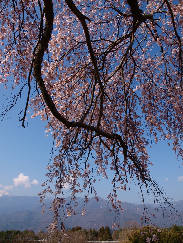 葛窪の枝垂れ桜140425_9