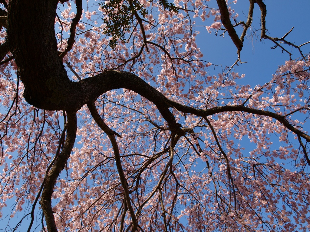 葛窪の枝垂れ桜140425_11