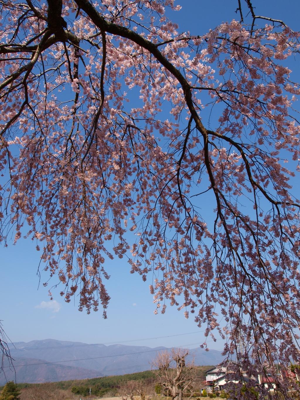 葛窪の枝垂れ桜140425_3