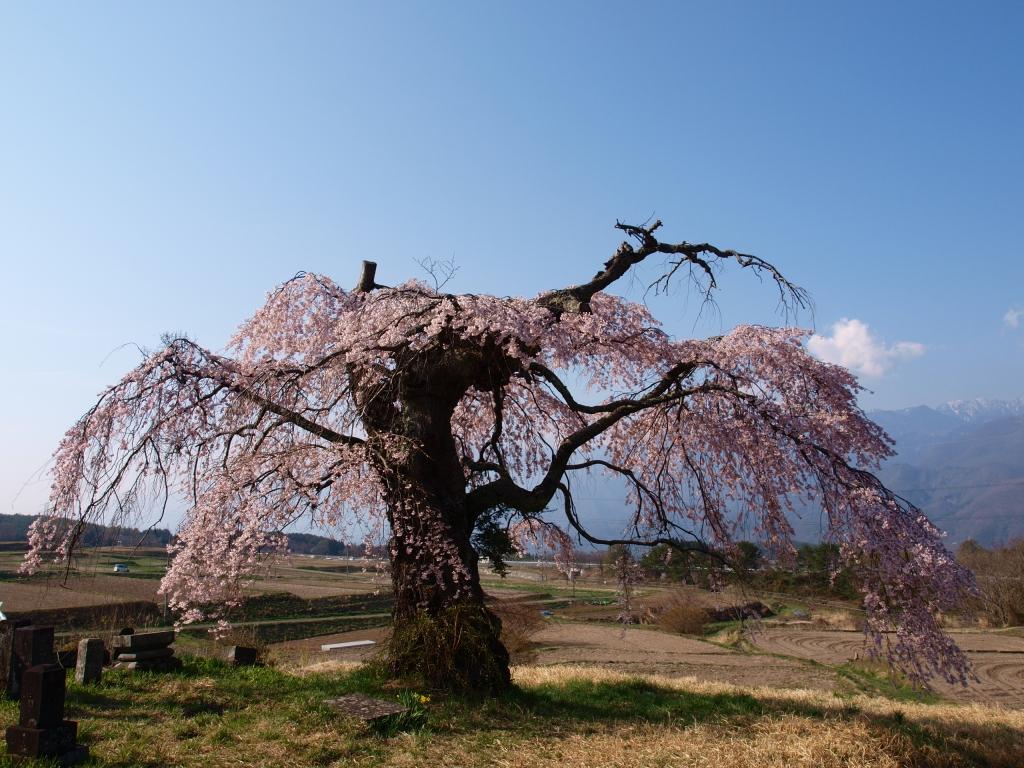 葛窪の枝垂れ桜140425_4