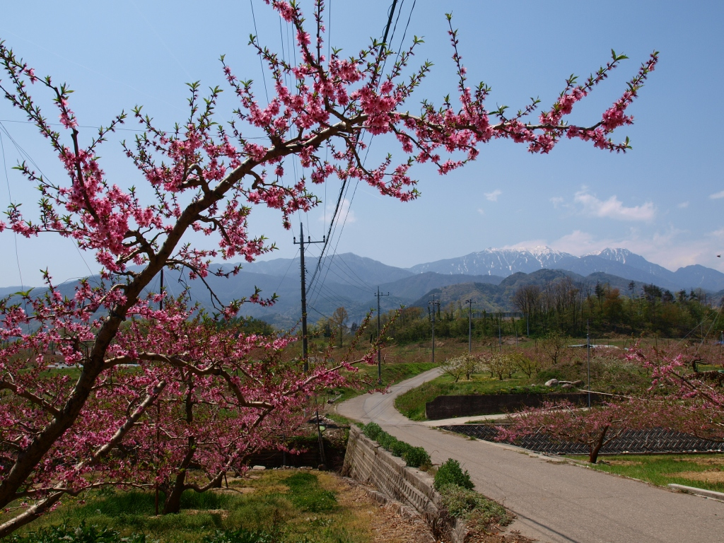 新府の桃の花と鳳凰三山