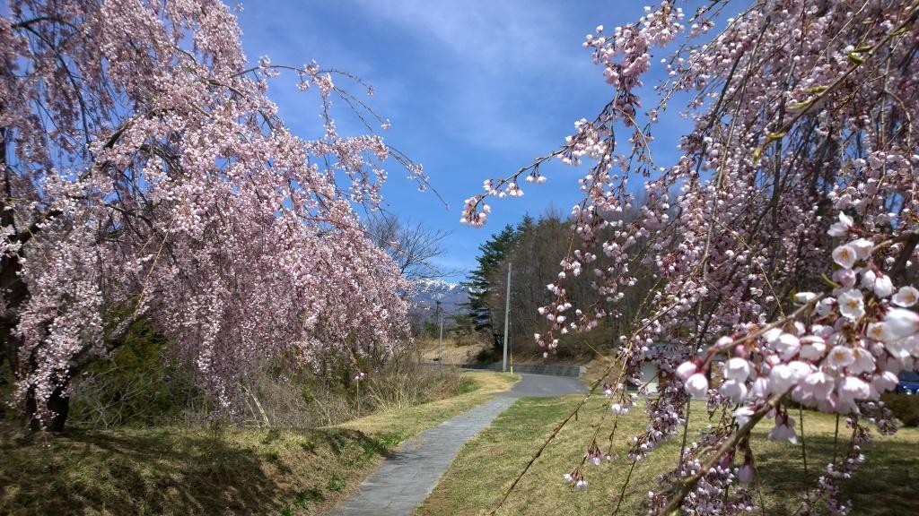 城山公園の桜越しに八ヶ岳