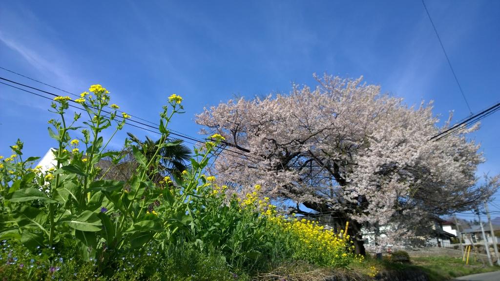 穴山の桜と菜の花