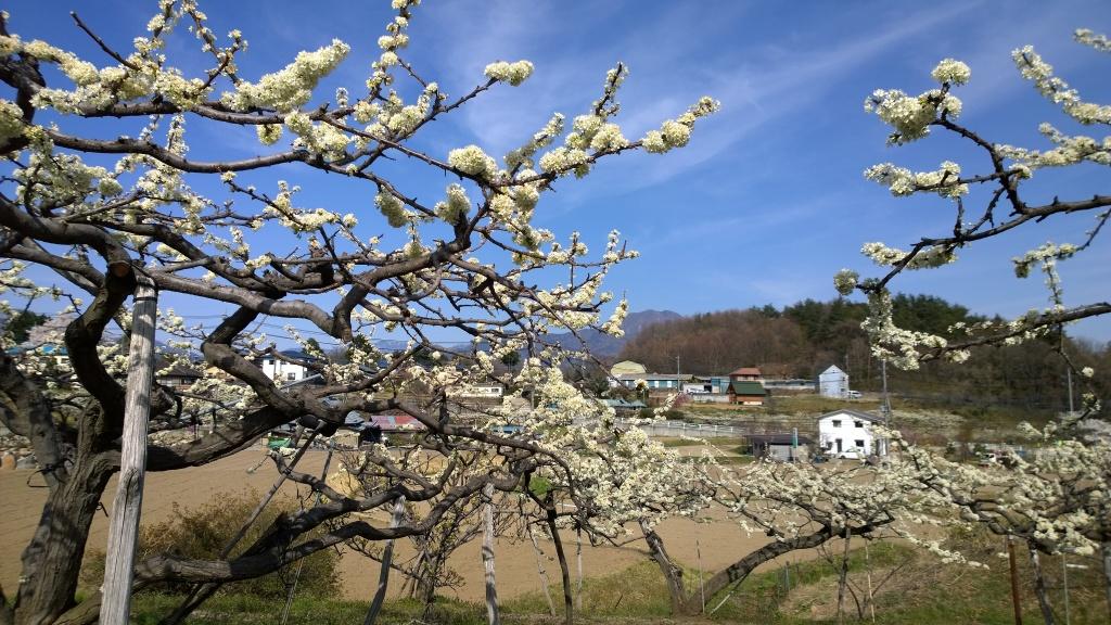 桃の花と茅ヶ岳