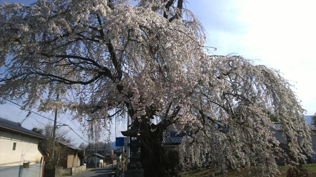長坂町蓮成寺の桜2