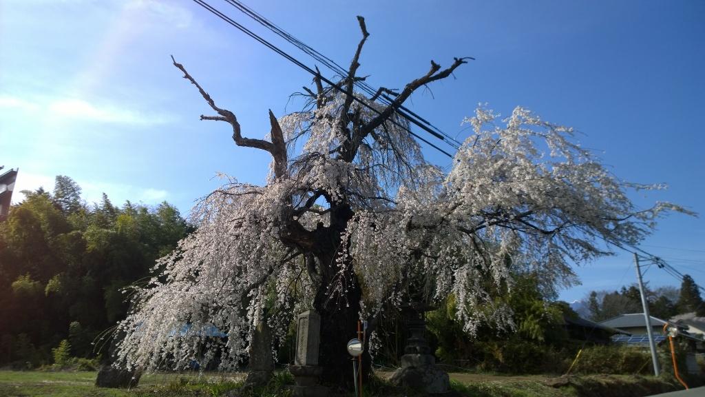 長坂町蓮成寺の桜3