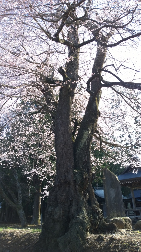 熱那神社の桜2