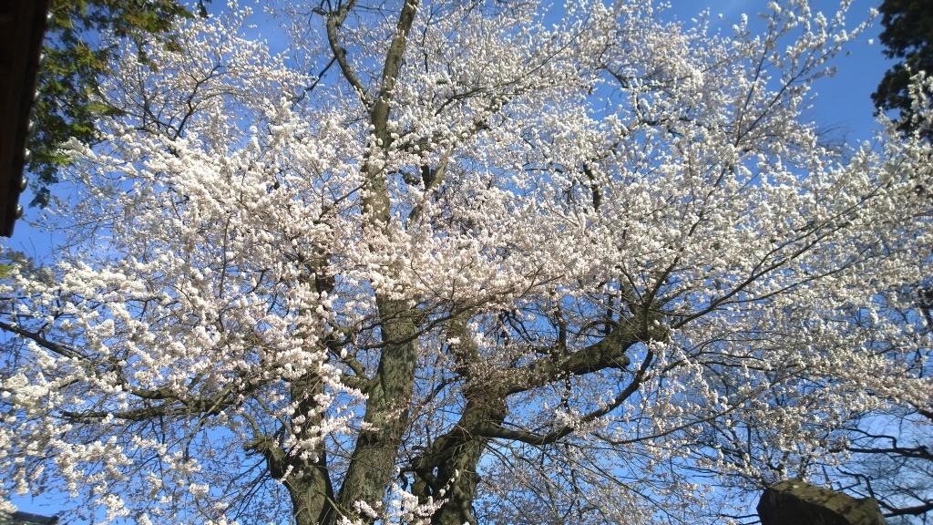 熱那神社の桜8