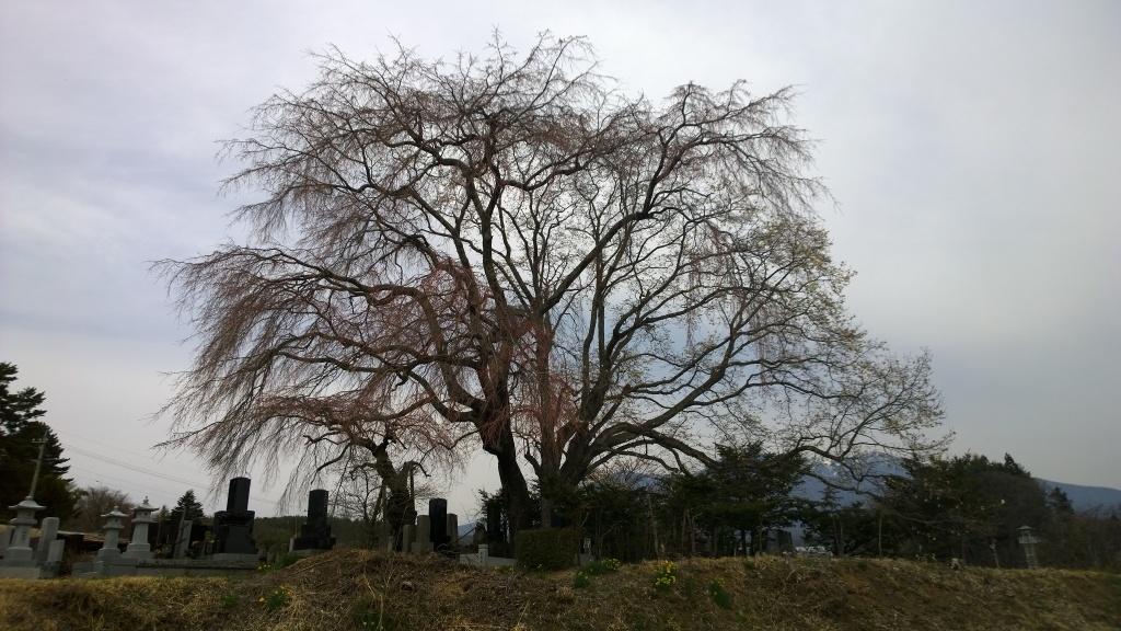 開花前の田端の桜140412_1