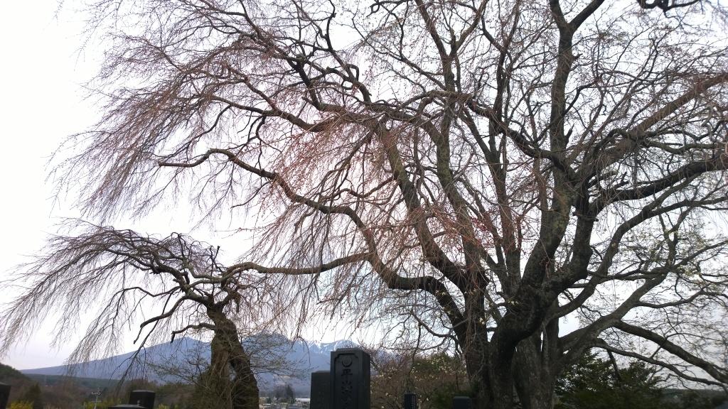 開花前の田端の桜140412_2