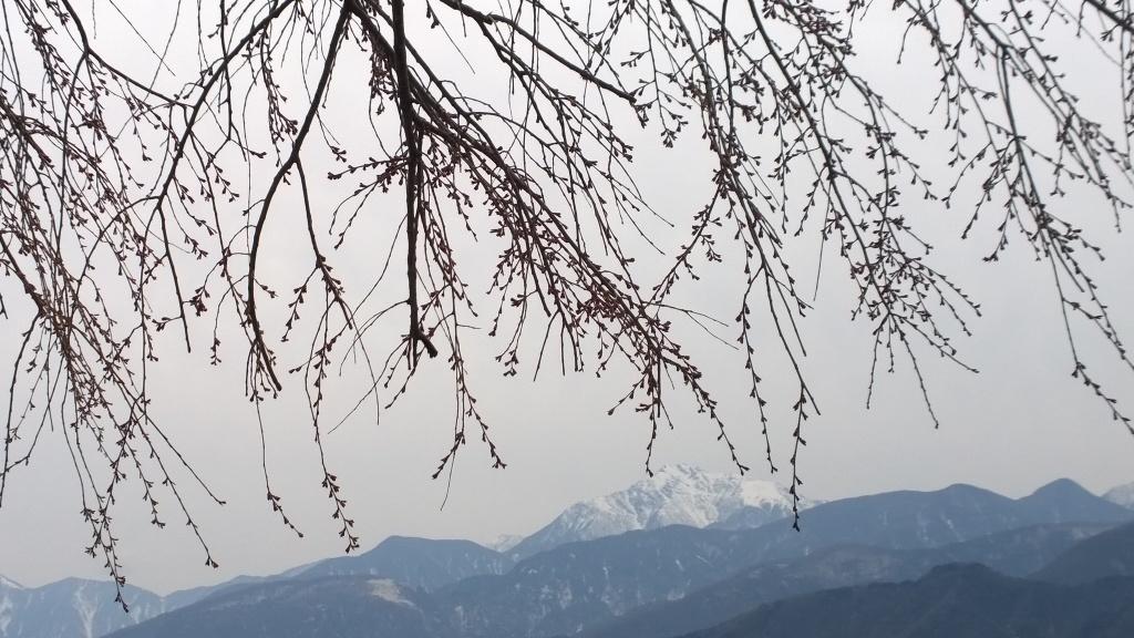 開花前の田端の桜140412_3