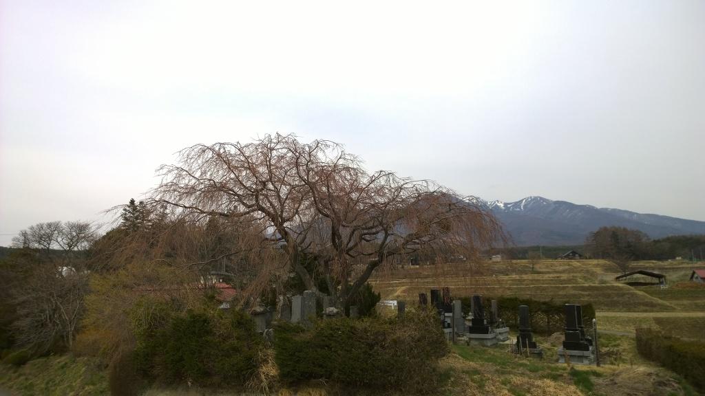 葛窪の枝垂れ桜と八ヶ岳_140412