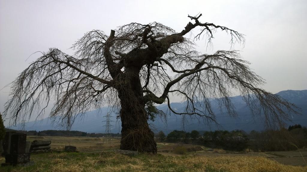葛窪の枝垂れ桜140412_1