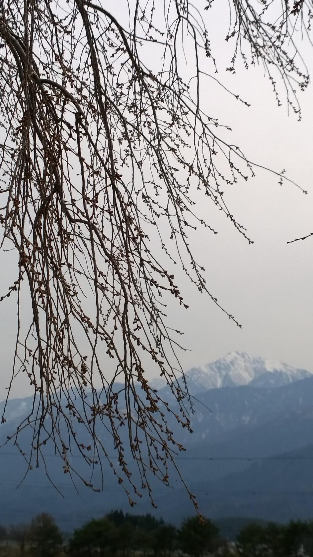葛窪の枝垂れ桜140412_3