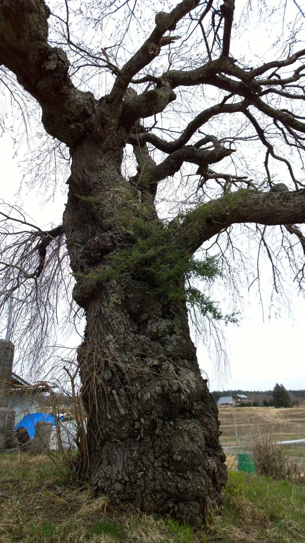 葛窪の枝垂れ桜140412_2