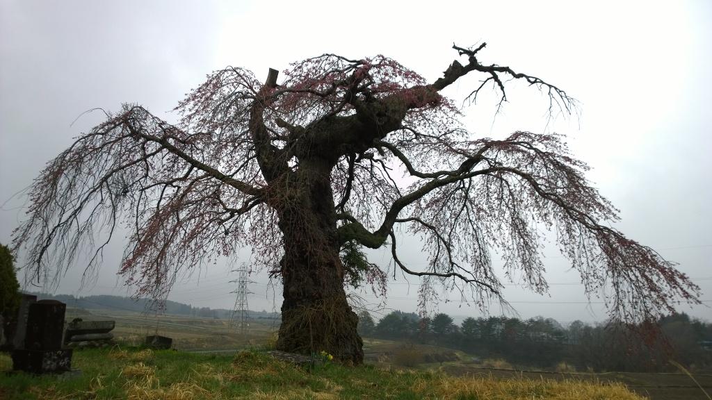 開花を迎えた葛窪の枝垂れ桜1