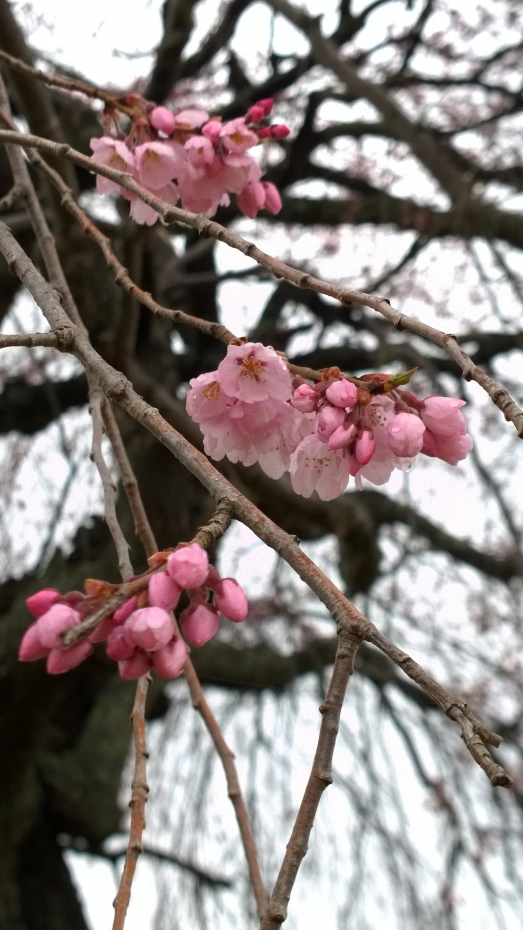 開花を迎えた葛窪の枝垂れ桜3