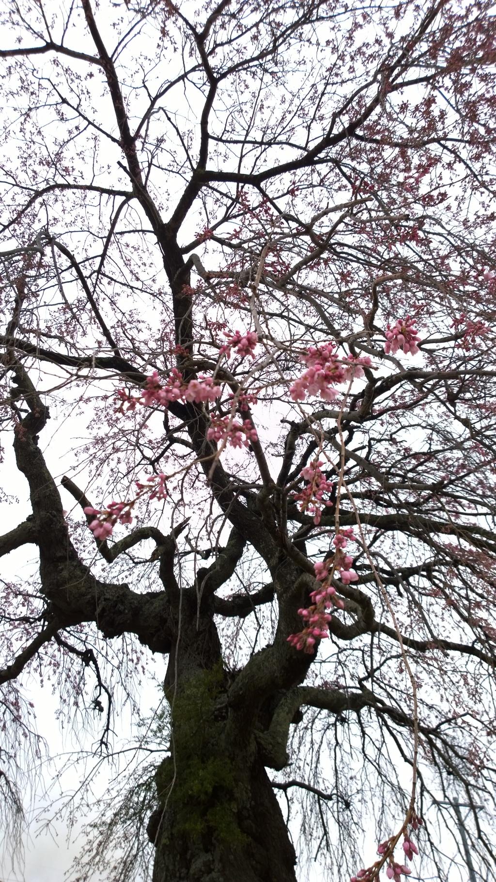 開花を迎えた葛窪の枝垂れ桜2