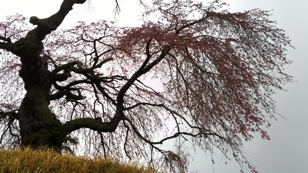 開花を迎えた葛窪の枝垂れ桜4