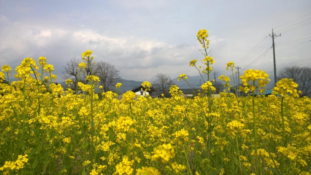 曇り空の菜の花畑