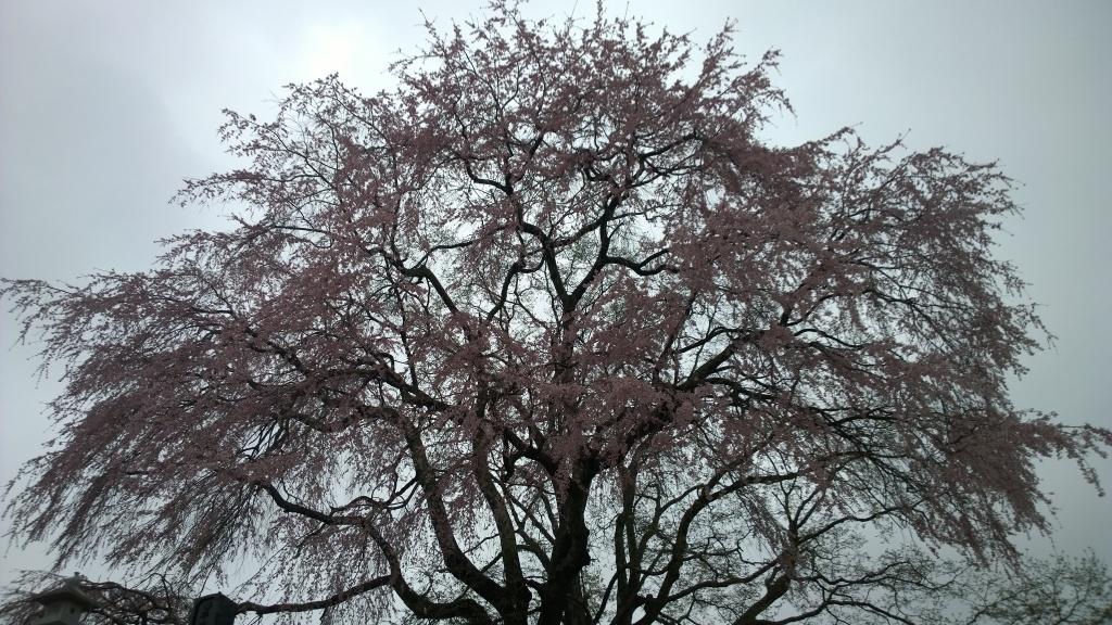 高森の枝垂れ桜140419_4