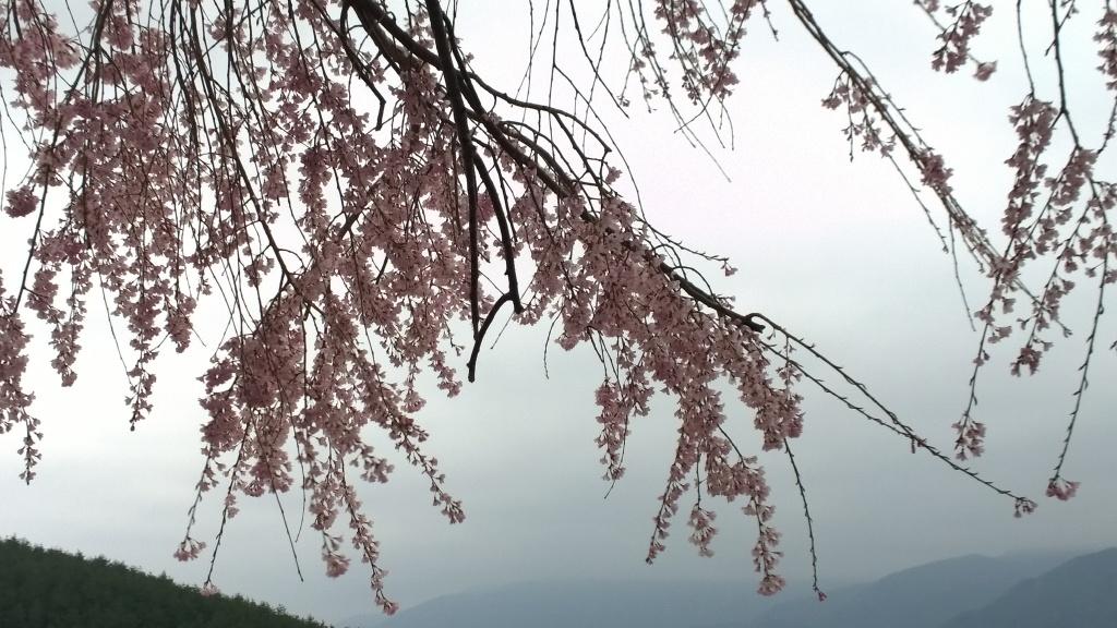 田端の枝垂れ桜140419_2