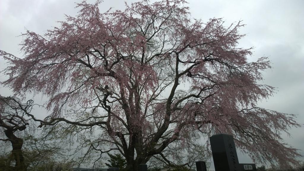 田端の枝垂れ桜140419_1