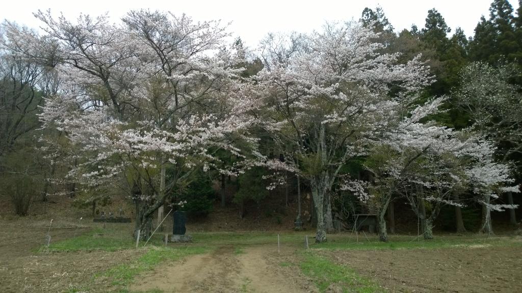 池生神社の桜140419_2