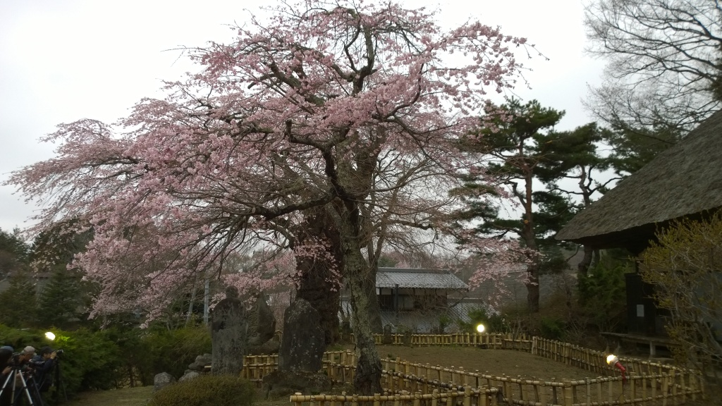 高森観音堂の枝垂れ桜140419
