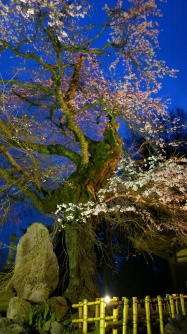 高森観音堂の夜桜140419_1